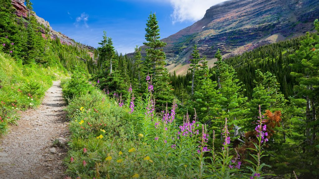 Wildflowers framing Ptarmigan Trail in Glacier National Park, Montana, USA