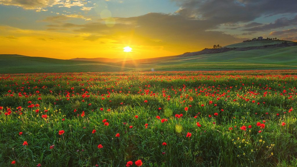 Landscape with poppies in Val d'Orcia at sunset, Tuscany, Italy