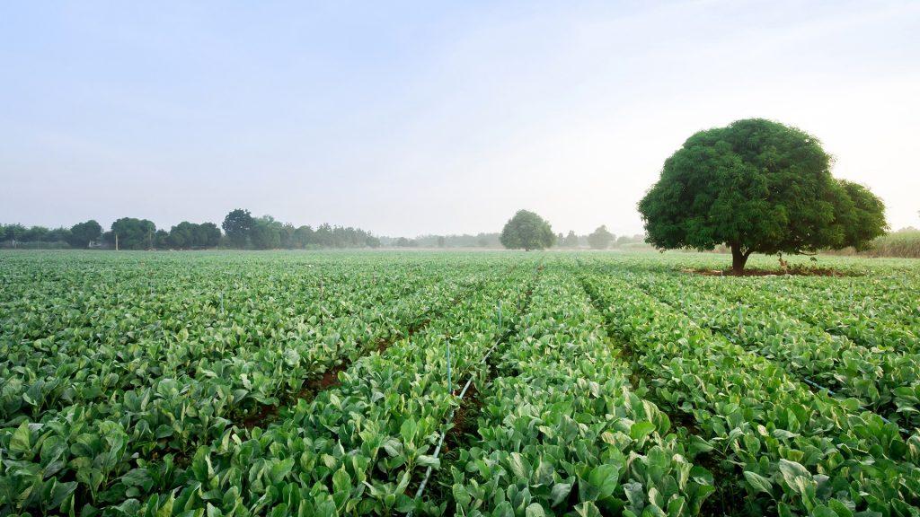 Kale farm, Kanchanaburi, Thailand