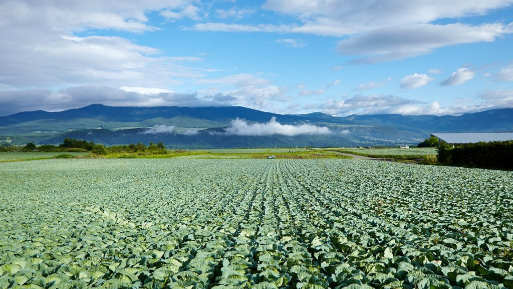 Kaleyard, cabbage field, Gunma, Japan