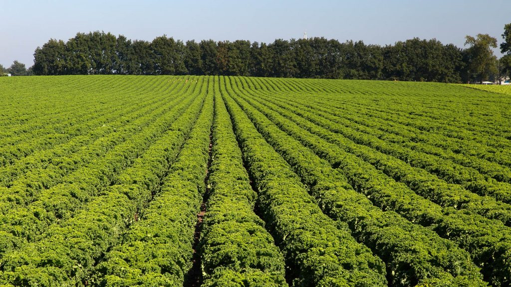 Rows of curly kale cabbage Brassica oleracea, Netherlands