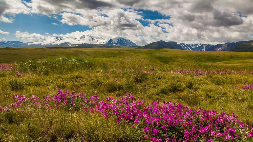 Blooming meadow in the mountains, Mongolia