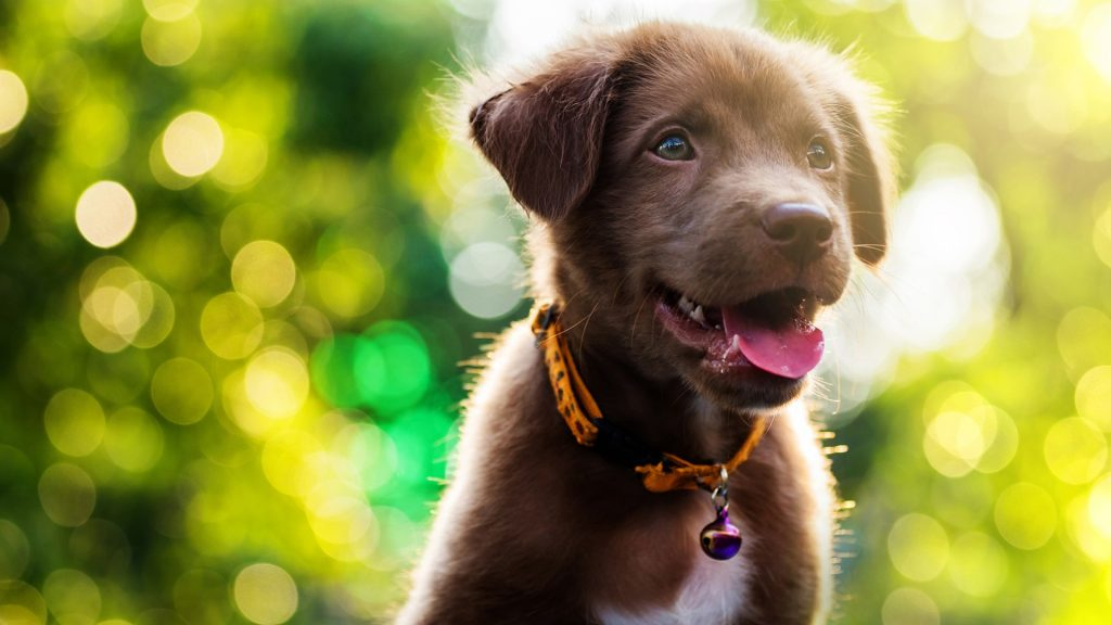 Brown cute smile Labrador Retriever puppy with spring foliage bokeh and sunset light abstract
