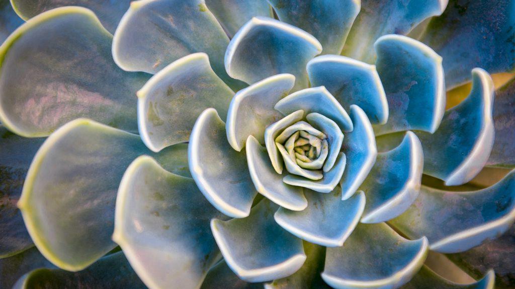 Rosette pattern of succulent plant Echeveria Capri, Capri island, Italy