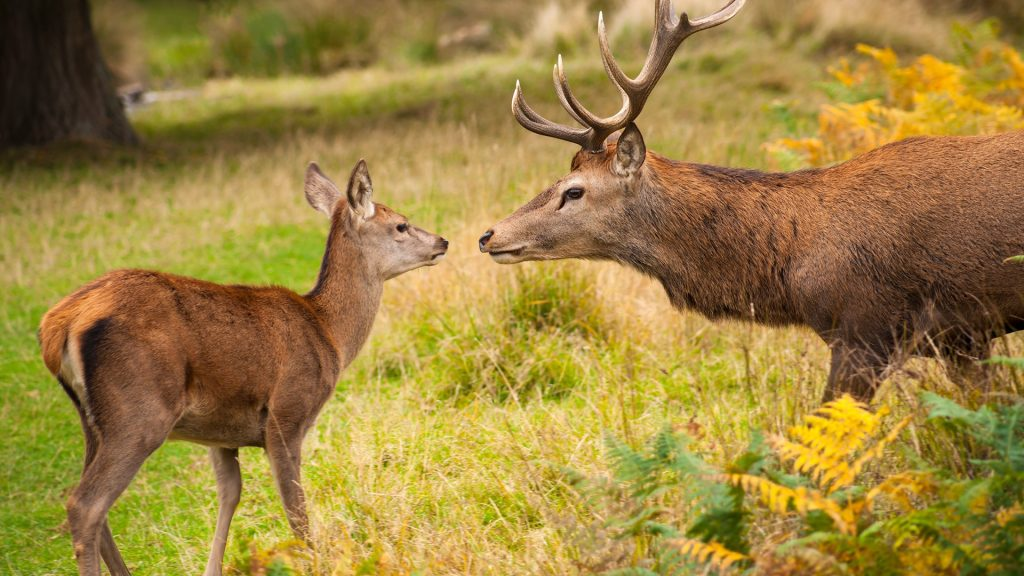 Red Deer face-to-face with fawn, Richmond Park, Richmond-upon-Thames, England, UK