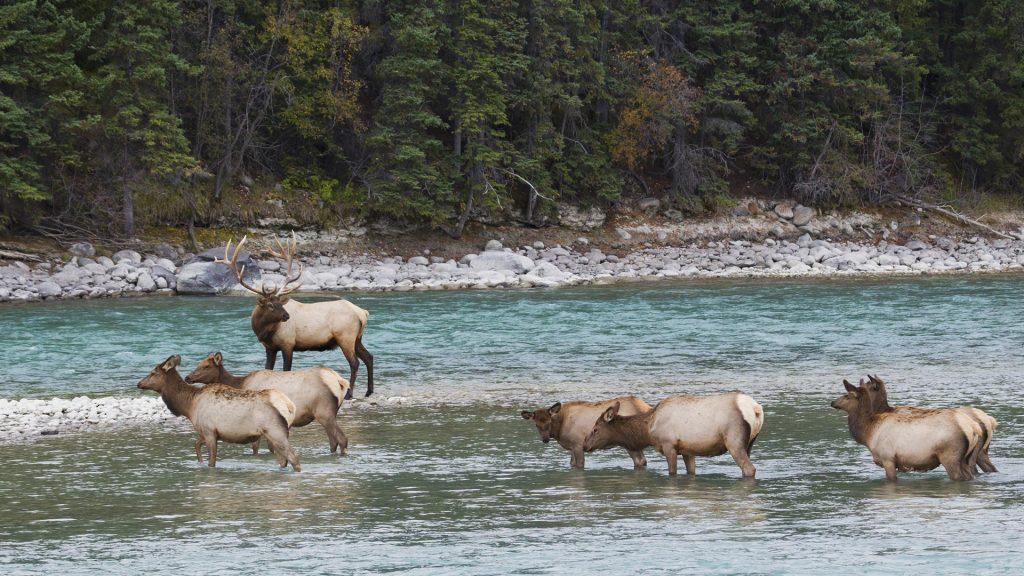 Rocky Mountain Elk (Cervus Elaphus Nelsoni) herd, Wyoming, USA