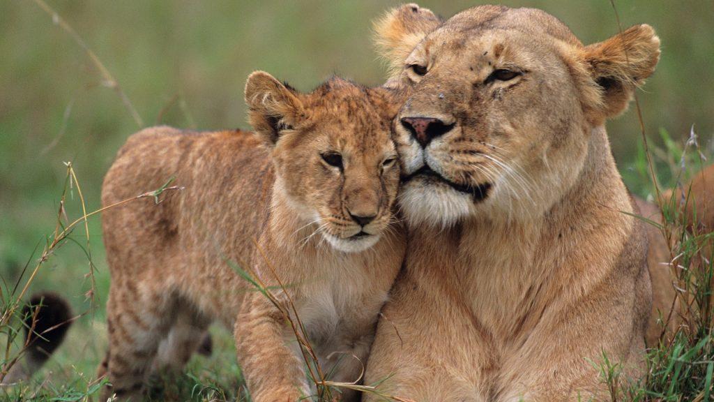 Lioness (Panthera leo) with cubs on grass, Masai Mara National Reserve, Kenya