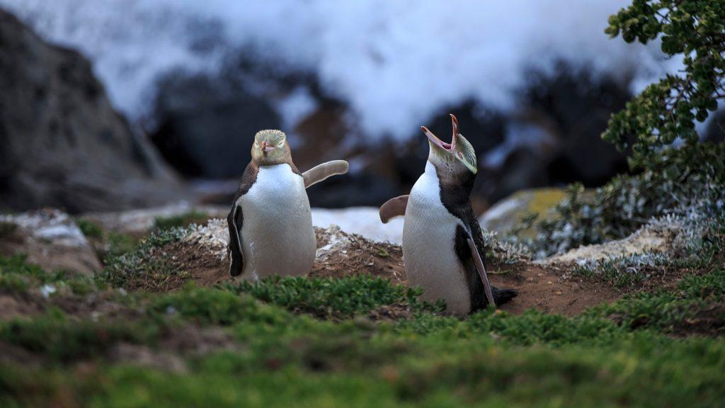 Two yellow eyed penguins (megadyptes antipodes) at coast, Katiki Point, Moeraki, New Zealand