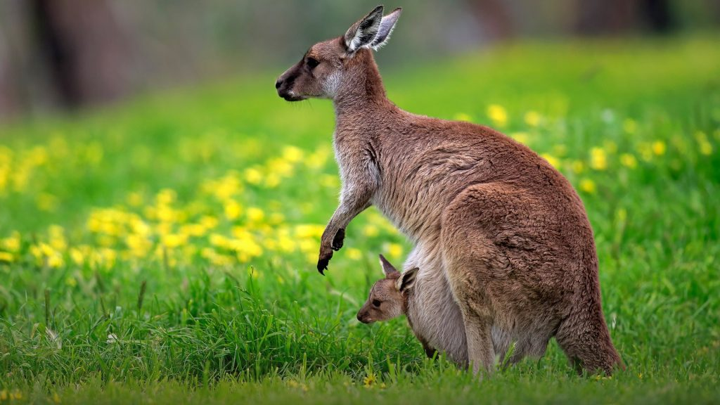 Kangaroo Island Kangaroo (Macropus fuliginosus) mother with young looking out of pouch, Australia