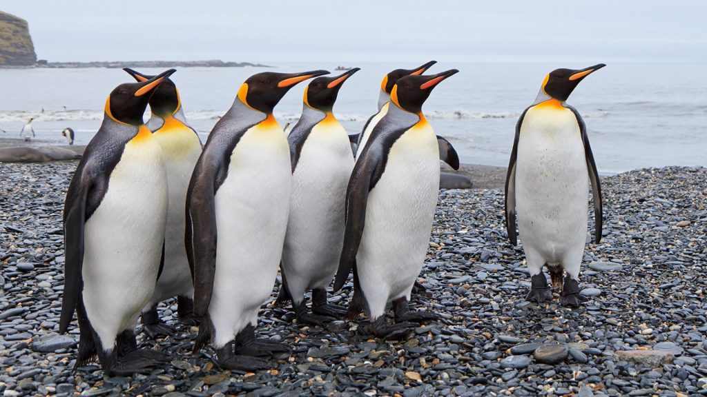King penguins at St. Andrews Bay, South Georgia Island, UK