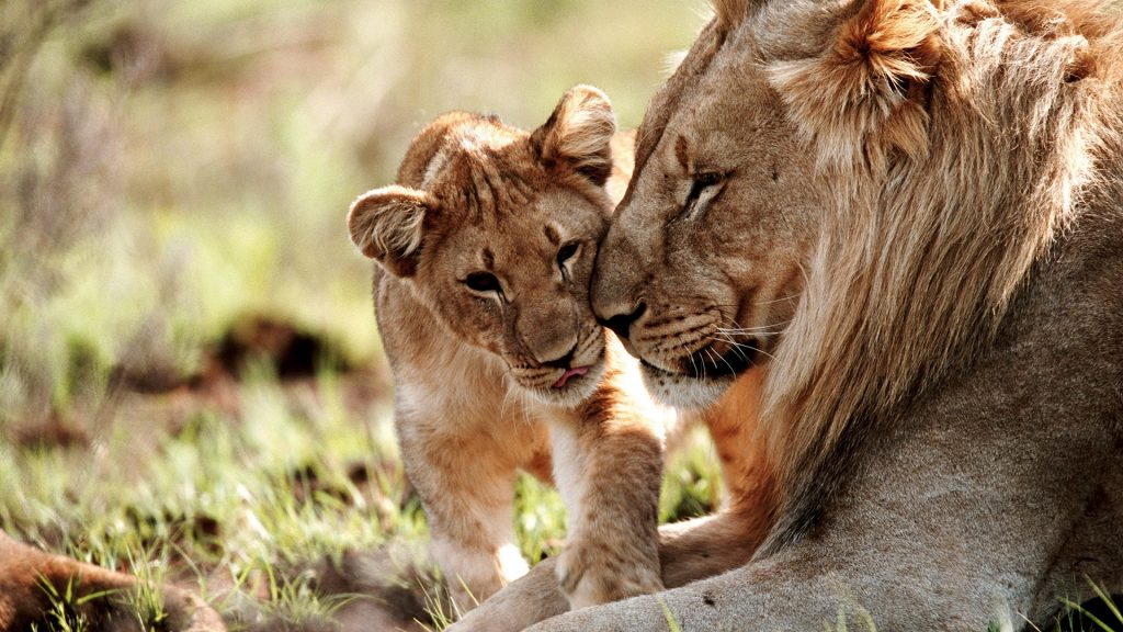 Lion and cub (Panthera leo) in field close-up, Welgevonden Game Reserve, South Africa