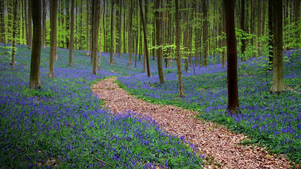 Hyacinthoides in forest of Halle, Flemish Brabant, Belgium