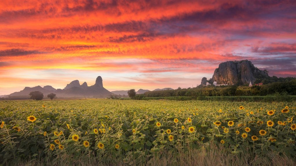 Blooming sunflowers field at sunset, Lopburi, Thailand