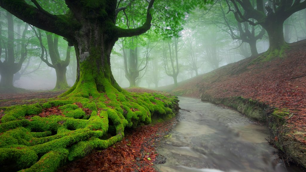 Otzarreta beech wood covered by fog, Zeanuri, Vizcaya, Spain