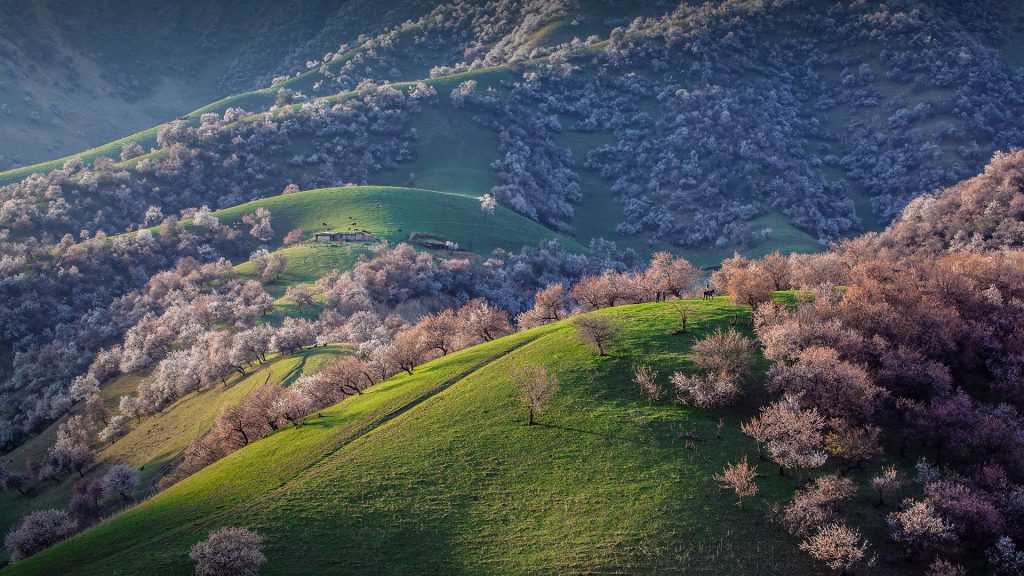 Wild red apricots spread over the hills in spring, Xinjiang, China