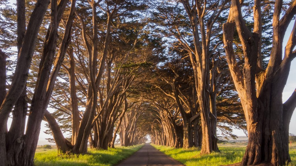 Point Reyes Cypress Tree Tunnel at golden hour, California, USA