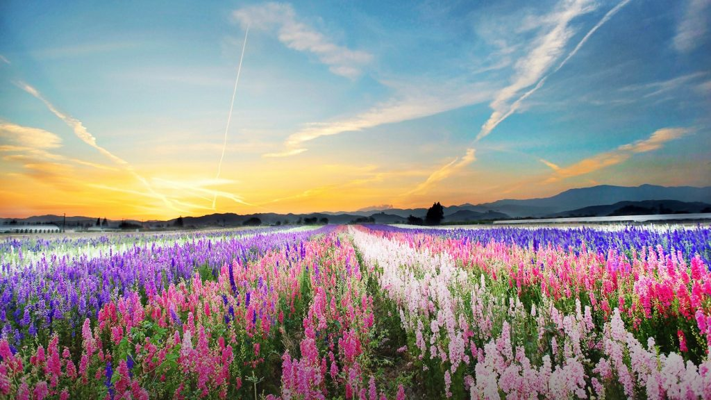 Flower fields in Santa Paula, California, USA