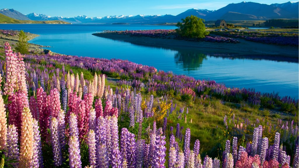 Lupins near the Church of the Good Shepherd at Lake Tekapo, South Island, New Zealand