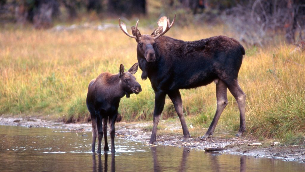 Elk or Moose (Alces alces) with calf, Grand Teton National Park, Wyoming, USA