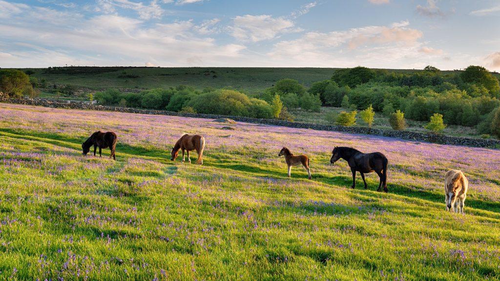 Ponies on meadow at Emsworthy Mire on Dartmoor National Park, Devon, England, UK