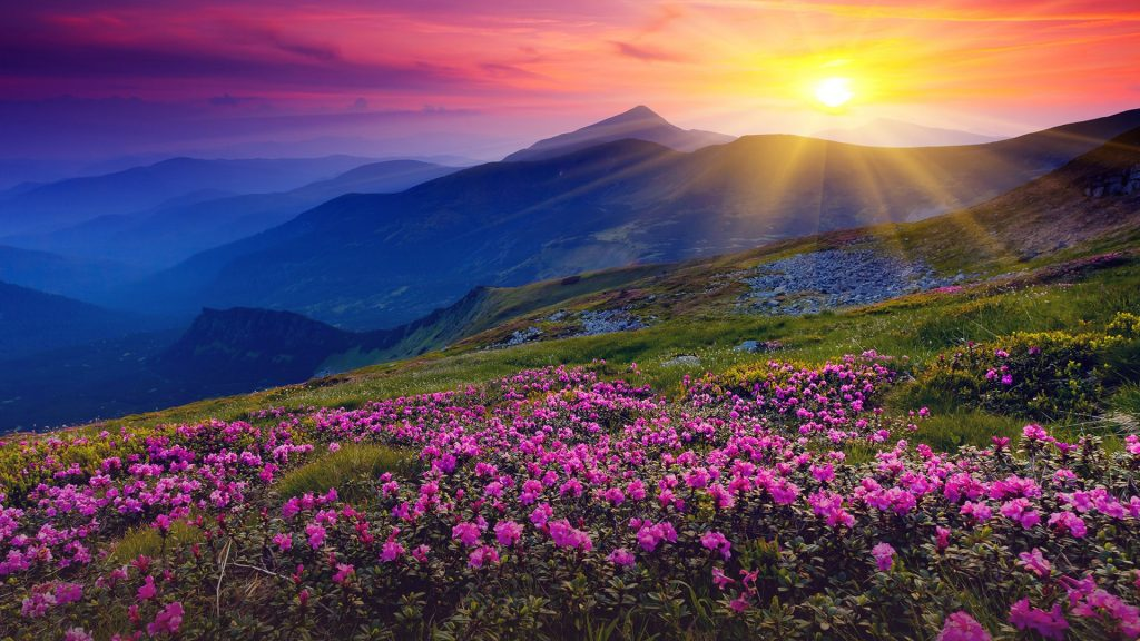 Magic pink rhododendron flowers on summer mountain, Carpathian mountains, Ukraine