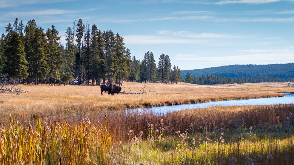 Wild bison roam free beneath mountains in Yellowstone National Park, Wyoming, USA