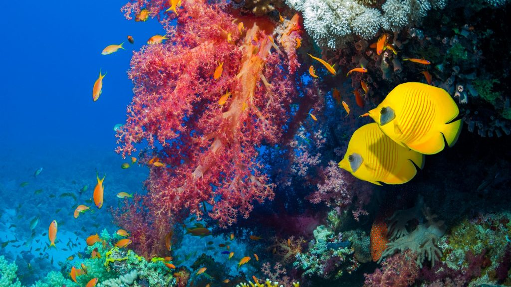 Golden butterflyfish swimming past Lyretail anthias or Goldies and soft corals, Egypt, Red Sea