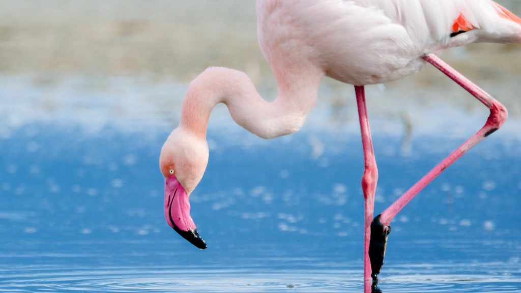 Close-up of flamingo in water, Elmas, Italy