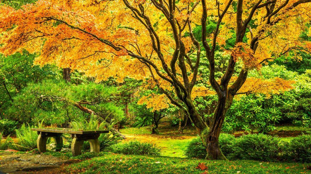 Japanese maple tree in Seattle's Washington Park Arboretum Botanical Garden, USA