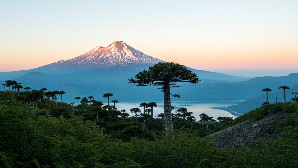 Conguillio volcano and araucaria trees Araucaria araucana in the Conguillio National Park, Chile