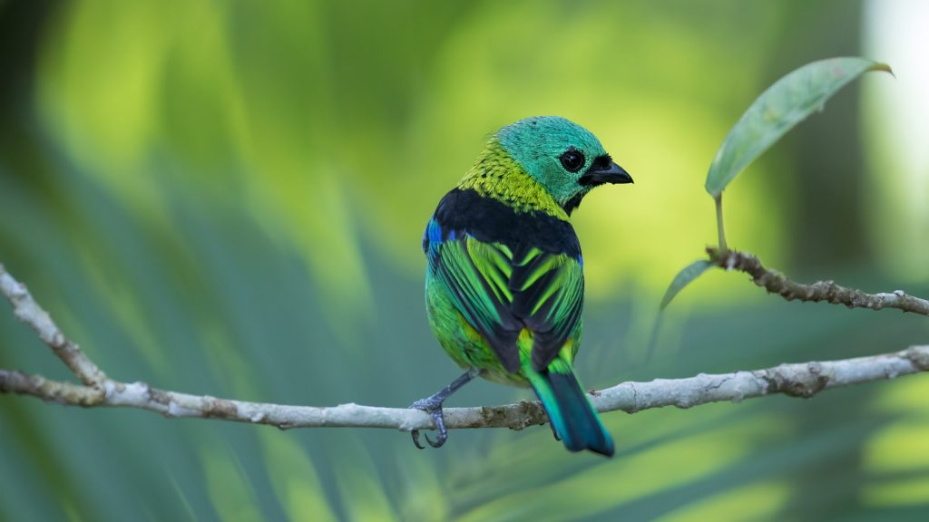 Green-headed tanager (Tangara seledon), Serra do Mar State Park, São Paulo, Brazil