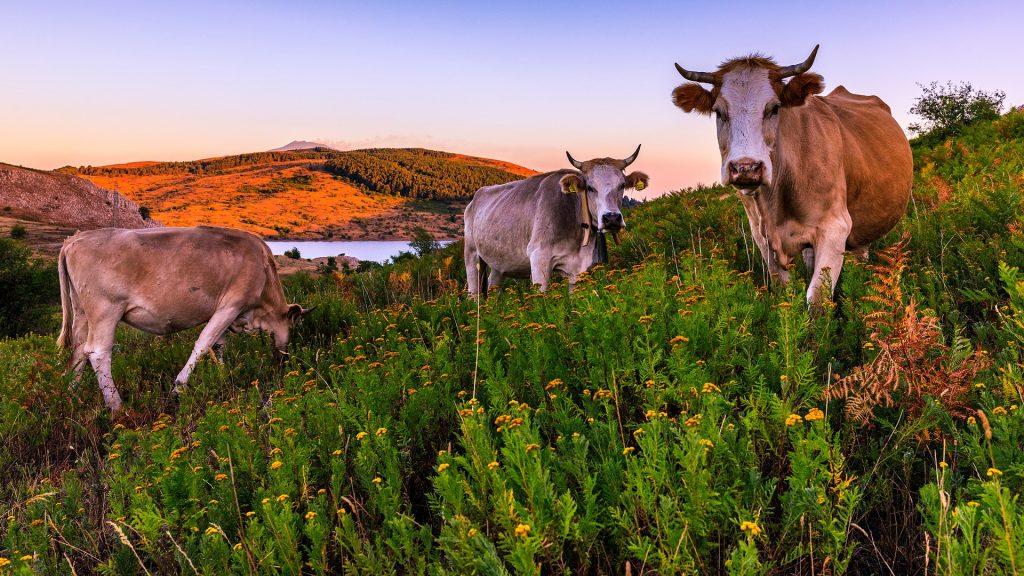 Cows in the area of Trearie Lake, Nebrodi Park (Parco dei Nebrodi), Sicily, Italy