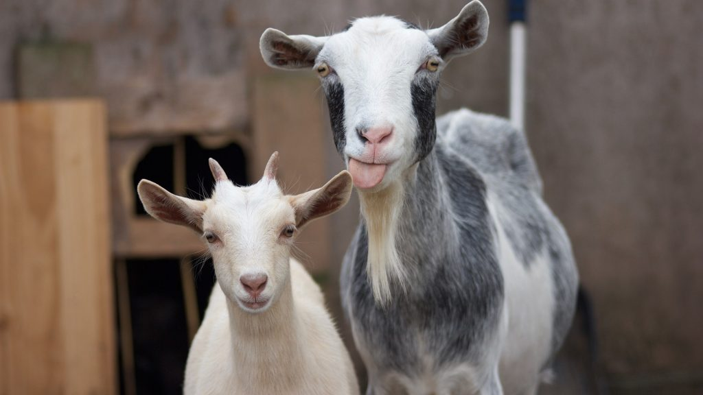 Close-up portrait of goats, Aldridge, UK