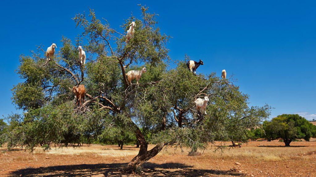 Goats eating on Argan nuts (Argania spinosa), near Essaouira, Marrakesh-Safi, Morocco