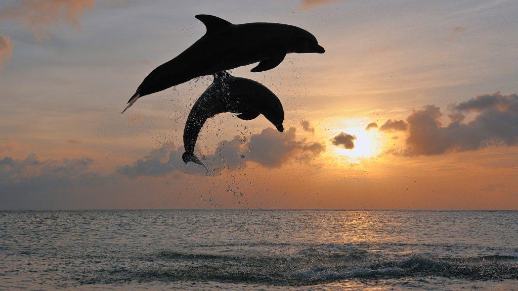 Bottlenose dolphin (Tursiops truncatus) jumping in sea at sunset, Roatan, Bay Islands, Honduras