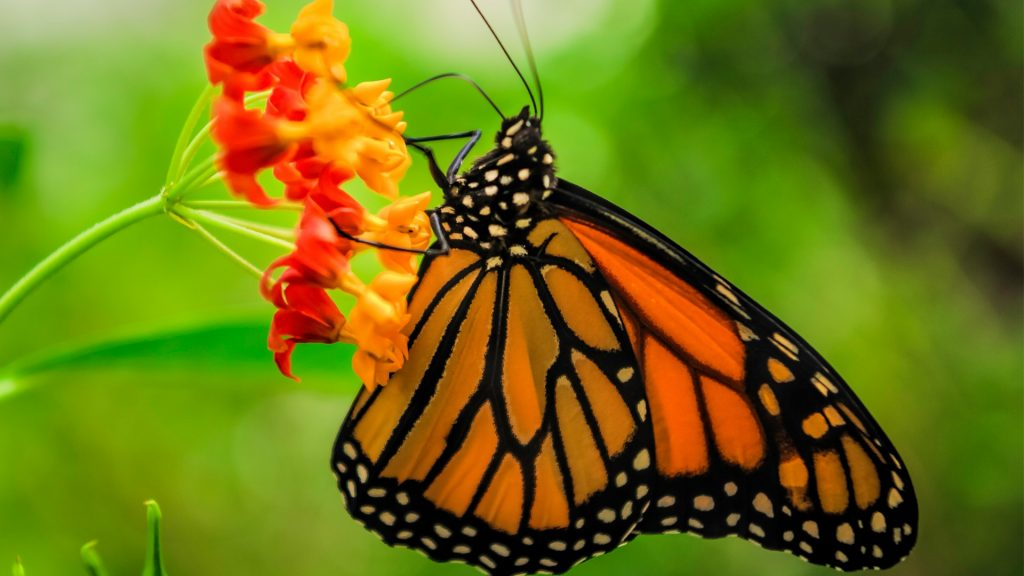 Monarch Butterfly in the Chapultepec Park in Mexico City, Mexico