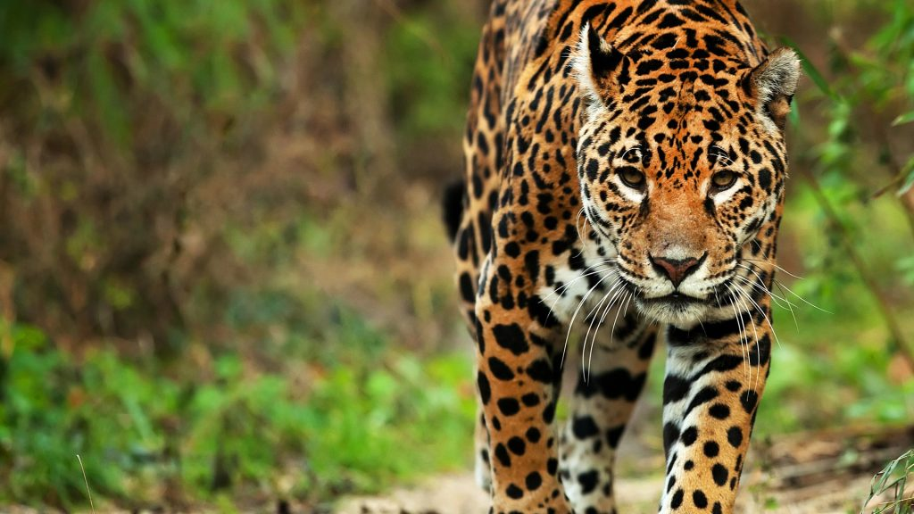 Jaguar (Panthera onca) close-up, Brazil