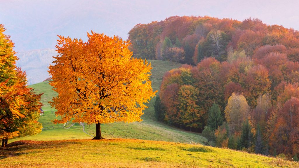Beech tree with sunny beams at mountain valley, Carpathian mountains, Ukraine