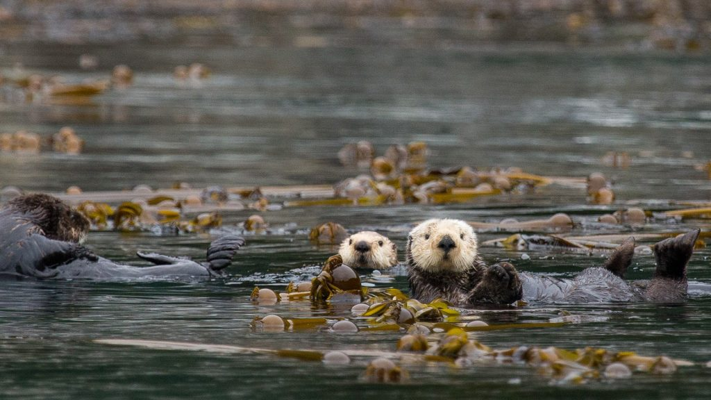 Sea otters (Enhydra lutris) float wrapped in kelp, Glacier Bay National Park and Preserve, Alaska, USA
