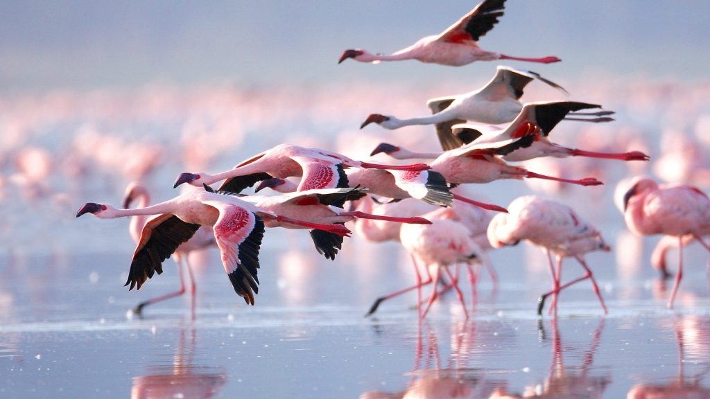 Lesser flamingo colony at Lake Nakuru National Park, Kenya