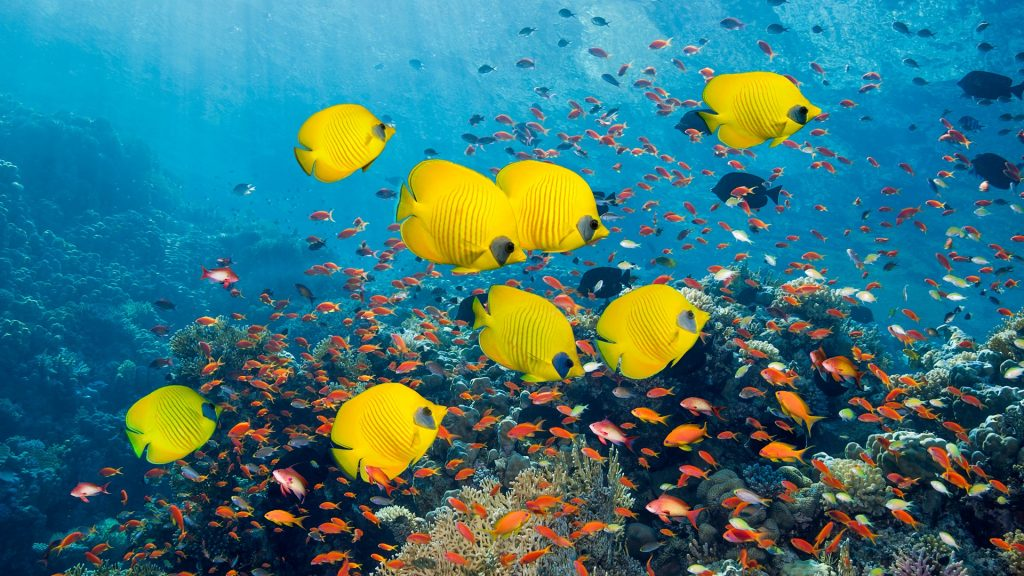 Golden butterflyfish (Chaetodon semilarvatus) swimming with Lyretail anthias or goldies (Pseudanthias squamipinnis), Red Sea, Egypt