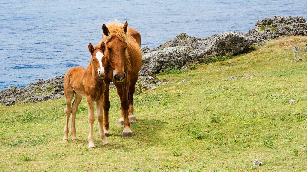 Horses on Yonaguni Island, Okinawa, Japan