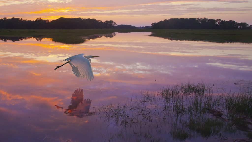 A great egret skims the water surface in early morning, Essex, Massachusetts, USA