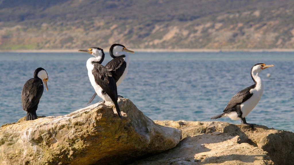 Little pied cormorants (Phalacrocorax melanoleucos), Kangaroo Island, Australia