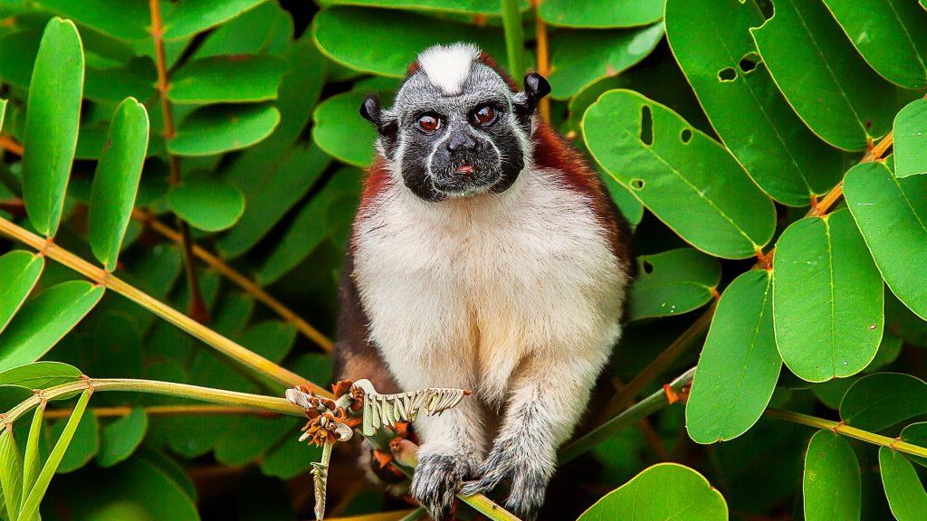 Geoffroy's tamarin (Saguinus geoffroyi), Soberania National Park, Monkey Island, Panama