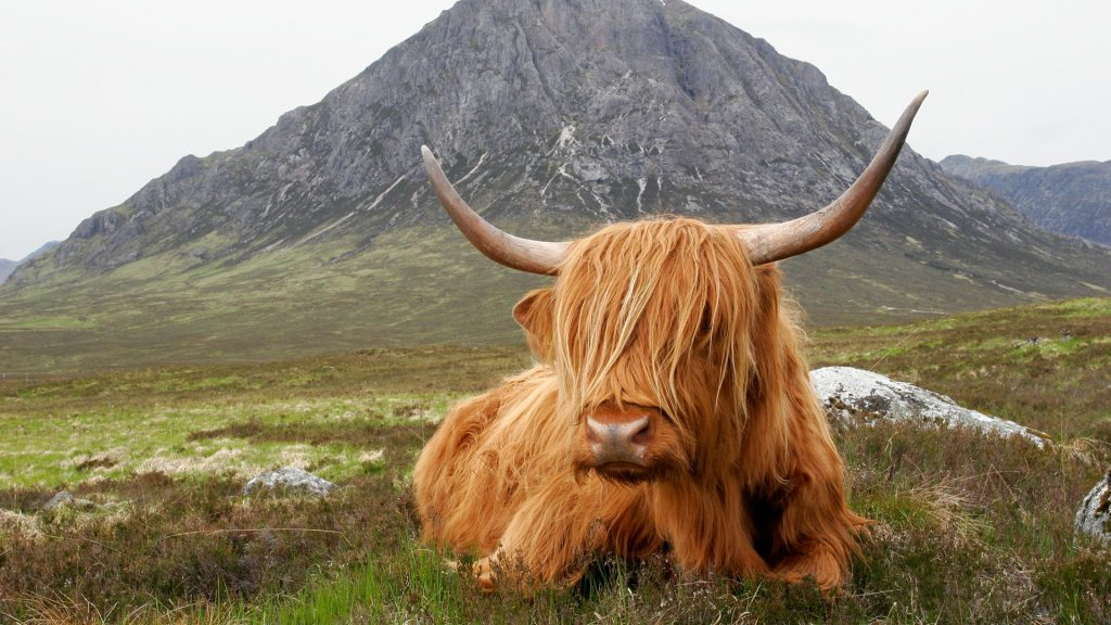 Highland cow rests in front of the Buachaille Etive Mòr near Glencoe, Scotland, UK