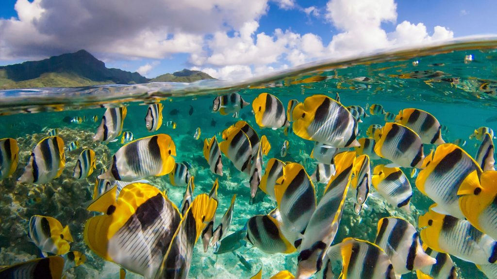 School of yellow butterfly fishes (Chaetodon ulietensis) and the blue sky, Mo'orea, French Polynesia