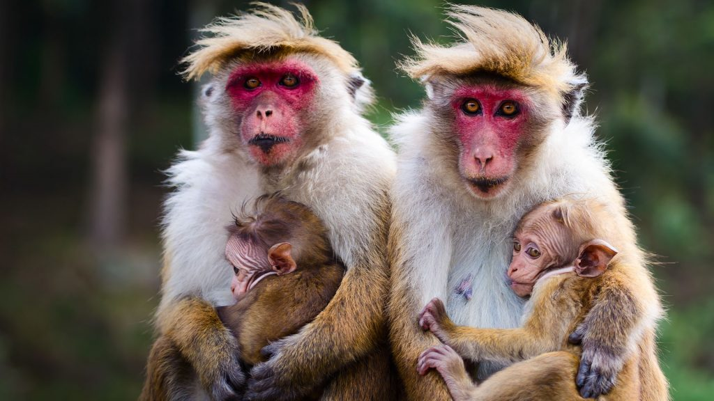 Monkey family with two babies, red faces macaque (Macaca fuscata), Sri Lanka
