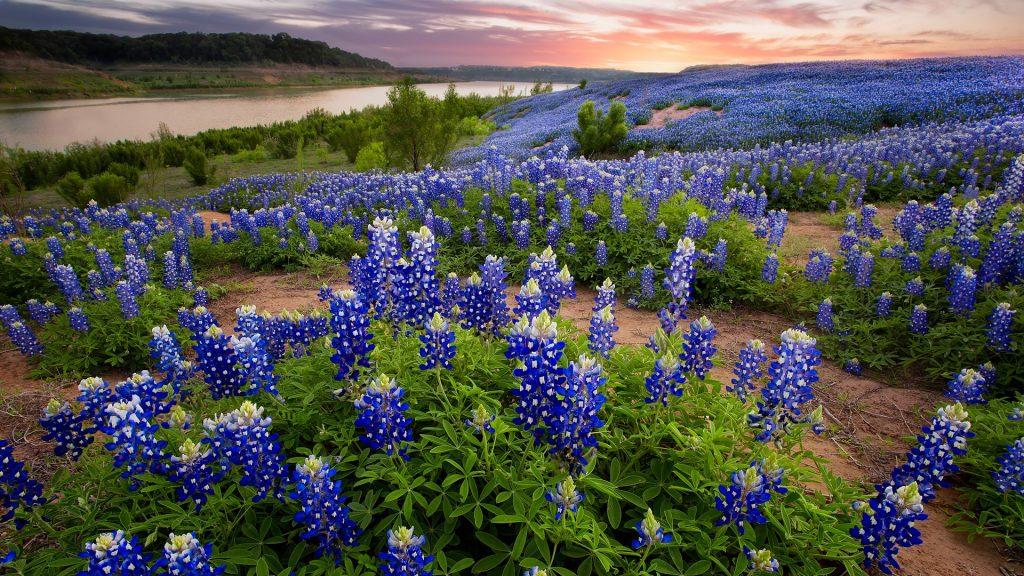 Prolific bluebonnets at Muleshoe Bend near Austin at sunrise, Texas, USA