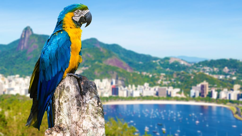 Blue and yellow macaw parrot in Rio de Janeiro, Brazil